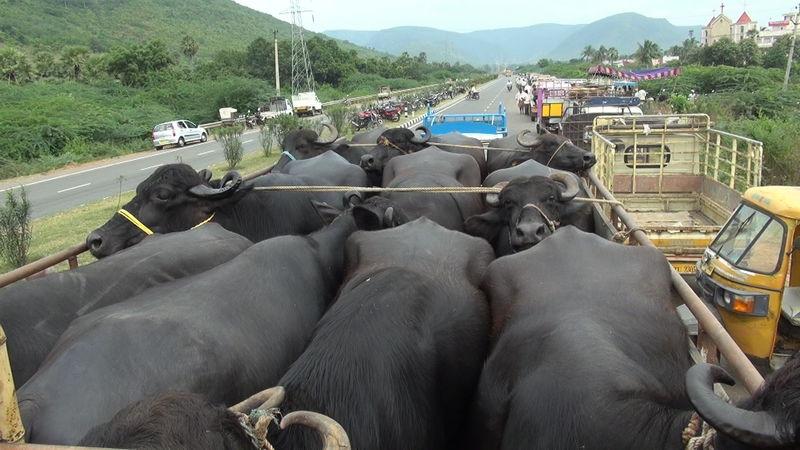 ViettelCargo tổ chức vận chuyển bò Úc
